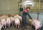 French pig farmers