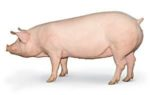 PIC- Camborough-sow 1203PIGpic1
