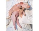 Piglet being held by person in lab coat