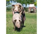 breeding-performance-1409PIGboar