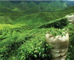 green-tea-field-1505PIGtea