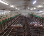 gestation-crates-ban-1507PIGhousing.jpg