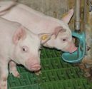Piglets-drinking-water-1205PIGpigwaterconsumption1