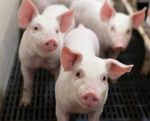 Antibiotic-free-piglets-1507FMFormulation1.jpg