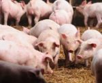 effect-of-particle-size-on-pig-feed-1401FMIngredients.jpg
