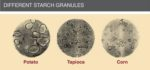 starch-granules-1410PIGpigletcereal1