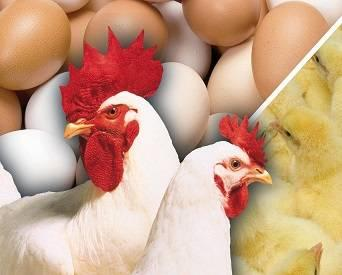 Are you making the most of broiler breeders?