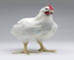 cobb-broiler-chicken.jpg