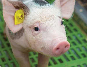 Piglet with ear tag