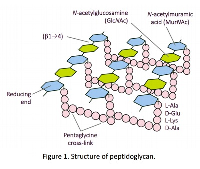 Structure of peptidoglycans