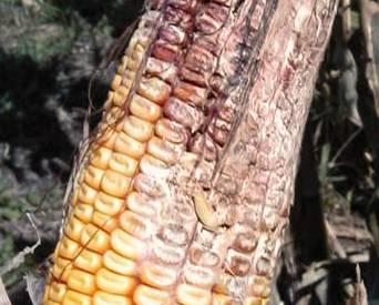 diseased-corn-1404FMcrops.jpg