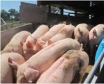 Ukraine-pigs-1309PIGnews