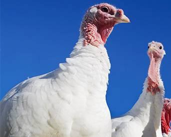 Turkey hen-1506AItkybreeders.jpg