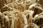 wheat contains choline